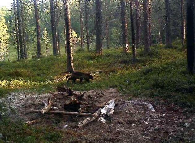En man dömdes för grovt jaktbrott för att bland annat ha skjutit en järv.