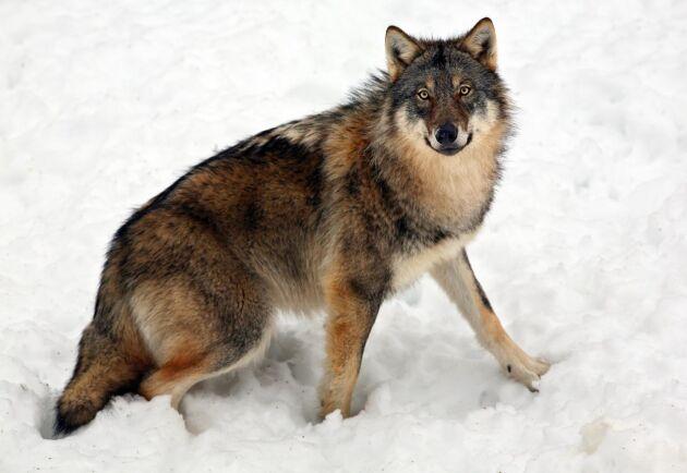 En jakthund blev i torsdags dödad av en varg i Kalmar län. Vargen på bilden har inte med artikeln att göra.
