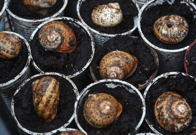 När sniglarna grävt ner sig i jorden för att lägga sina ägg är det bara snäckan som sticker upp.