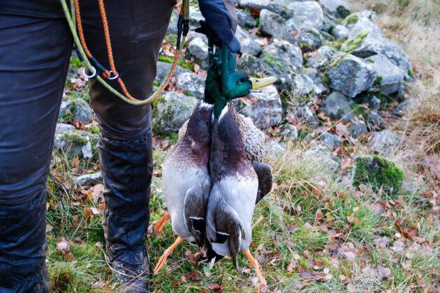 Varje år sätter Peter Johansson ut änder i sjöarna. Men det är viktigt att det inte blir för mycket fåglar så att strandkanterna slits. Kvalitet framför kvantitet är strategin som han har valt när det gäller jakten.