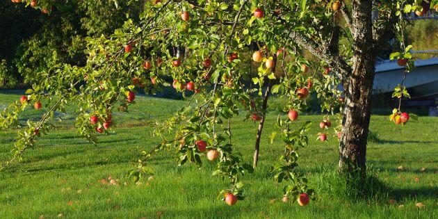 Guide: Så får du friska äppelträd – och större skörd