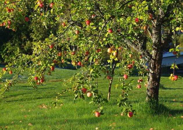 Gudie för hela året: Så får du friska äppelträd – och fler äpplen