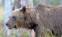 Rekordsnabb björnjakt avslutad