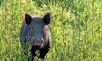 Staket i Polen ska hindra svinpest