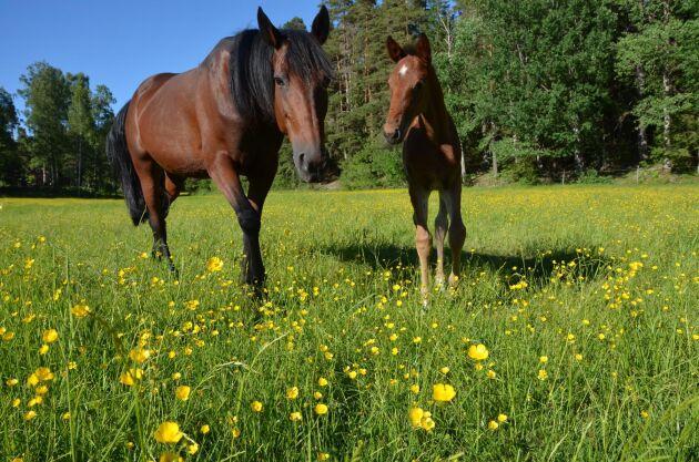 Smörblommor är beska och äts sällan av hästar i färskt tillstånd.