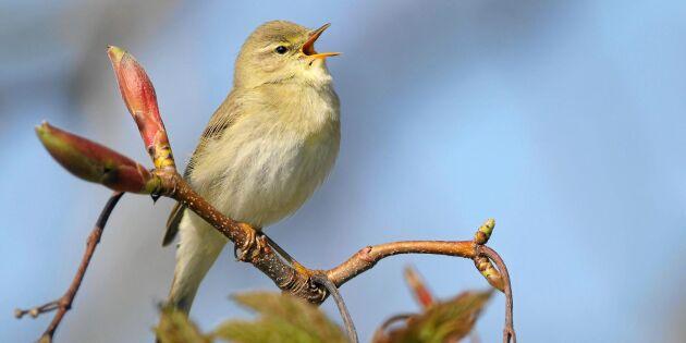 Forskning: Här är fågeln vars kvitter bäst minskar din stress!