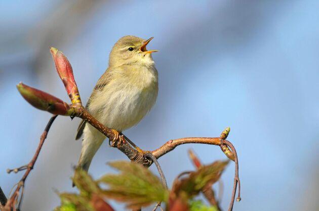 Den liknar flera andra sångare, bland annat gransångare och grönsångare, men ingen sjunger som en lövsångare.