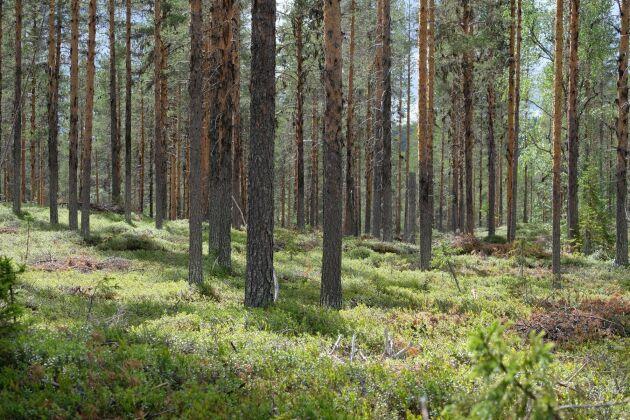 Sveriges viktigaste näring, som skogen är, kommer att försvinna helt, tror debattören Göte Carlsson.