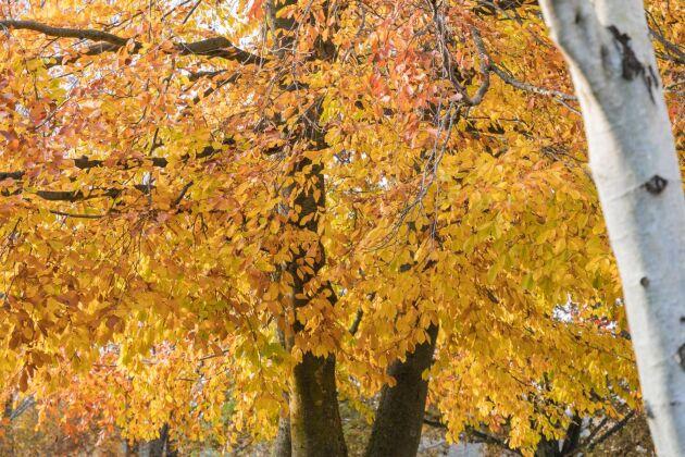 Lövträd i riktig höstskrud.