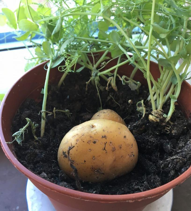 En halv potatis med snittytan mot jorden. Sedan är det bara att vänta. Foto: Kristina Bäckström
