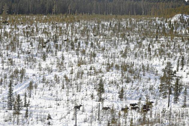 Älgar som samlats på ett hygge i Berg kommun, södra Jämtland.