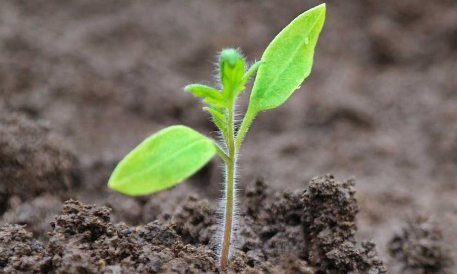Snart dags för omplantering. Foto: Istock