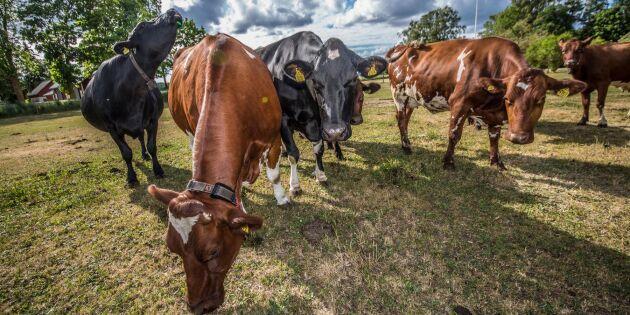 Lägg inte klimatskulden på kossorna