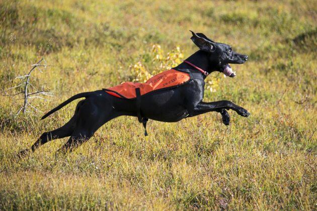 Pointerns jaktprov kan ske på fjället, på fält eller i skog.