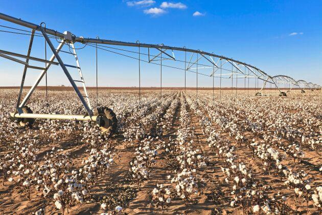 Bomullsodlingarna finns ofta i länder med torra klimat och kräver stora mängder konstbevattning.