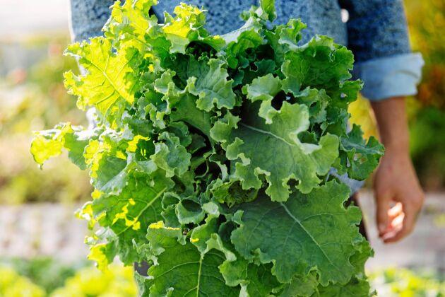 Nyskördad krispig grönkål som snart hamnar på en restaurangtallrik i trakten. Allt fler vill ha närodlade grönsaker av hög kvalitet.