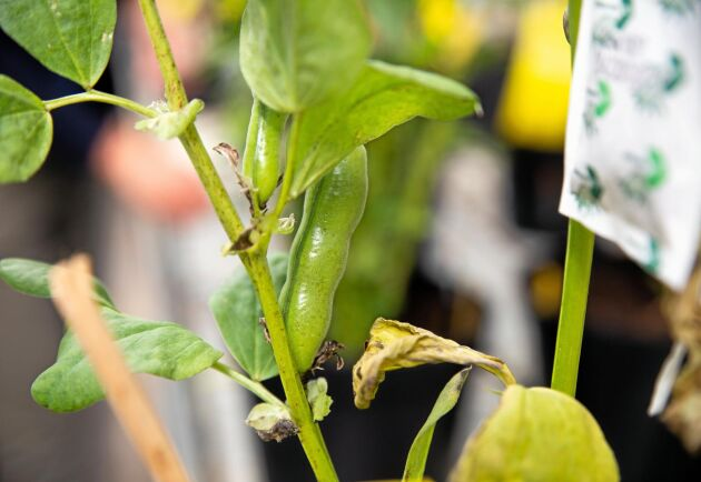 Åkerböna är exempel på en proteinrik gröda som används i foder.