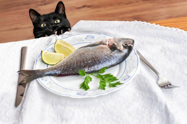 Fisk är inte nyttigt för katter till vardags.