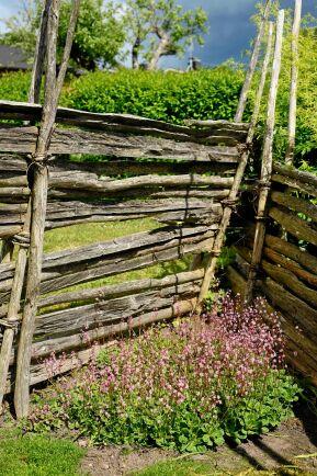 Intill gärdgårdsstaket trivs skuggbräckan.