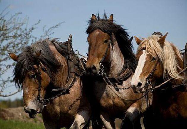 Äldre hästar får ökad trygghet.