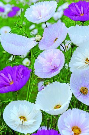 Rosenskära 'Cupcake Mix' är en blandning av enkla och halvdubbla, ljuvligt muffinsformade blommor i rosa nyanser och vitt. Så inomhus i mars-maj eller direkt på friland i maj-juni, blommar i juni-oktober. Weibulls.