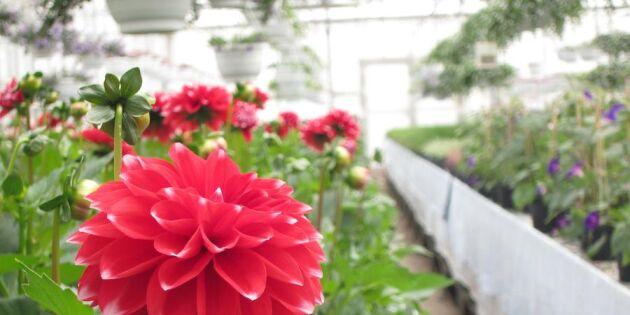 Internerna har odlat blommor i 70 år – nu får de egen blomsteraffär