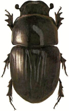 Smådyngbaggen Aphodius pusillus.
