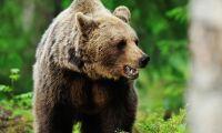 Älgjägare attackerade av björn