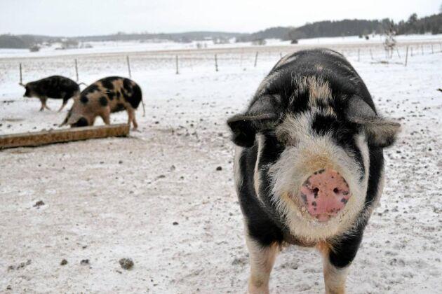 Kristofer Franzén föder upp linderödssvin och planerar att sälja charklådor till finrestauranger i Stockholm. Han har sålt sina produkter på Bondens marknad med strykande åtgång. I februari kommer han att stoppa korv på en korvfestival på Nordiska museet.