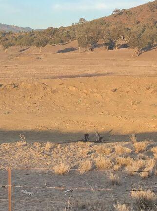 Kängurur söker upp den lilla skugga som finns.
