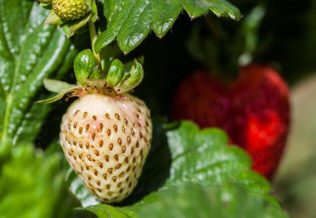 Kalla nätter slår hårt mot de svenska jordgubbarna.