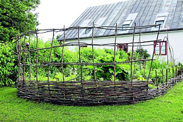 Ett vindskydd i kombination med en spaljé har flätats av beskärningsrester. En bra lösning om platsen är blåsig och man vill odla bönor.