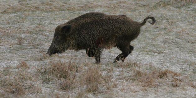 Markägarens ansvar att skjuta vildsvin