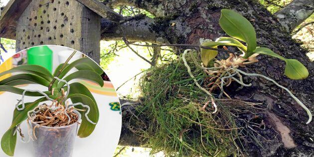 Smart sommarkur för trötta orkidéer