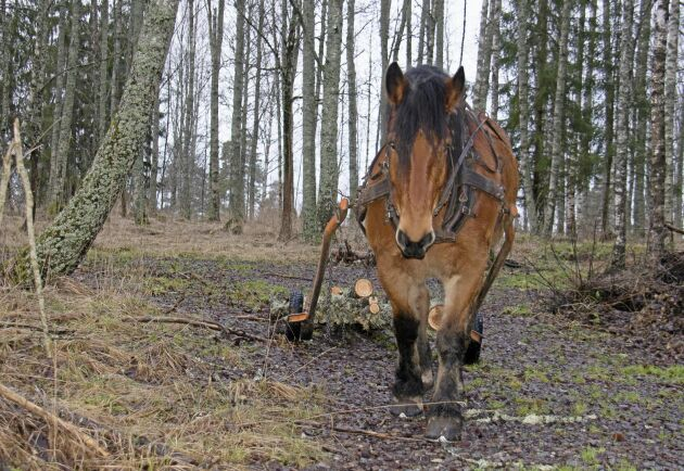 Skogskörningen får uppmärksamhet under varma vintrar men även under normala förhållanden har Satankai fullt upp.