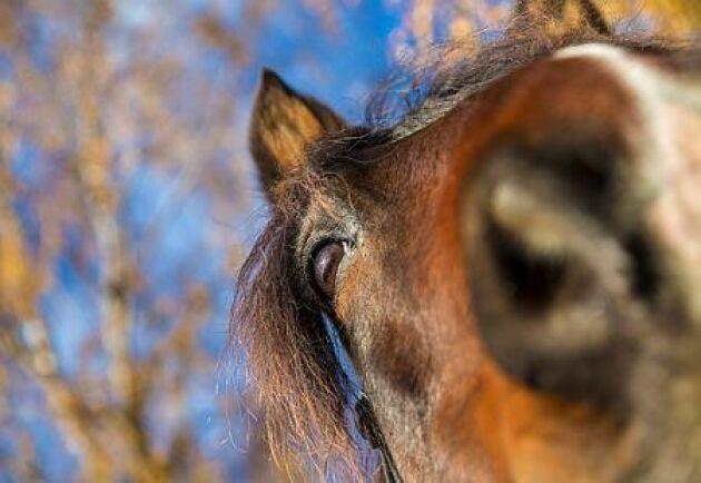 Hästsjukdomen kvarka sprids med importerade hästar.