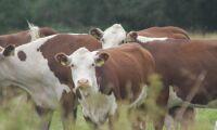 Alger i kofodret kan minska halten av metan