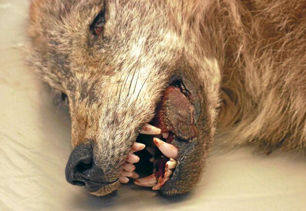 En död varg på obduktionsbordet. Arkivbild.