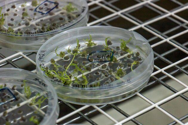I Alnarp odlas stärkelsepotatis med nya crispr-teknik på prov.