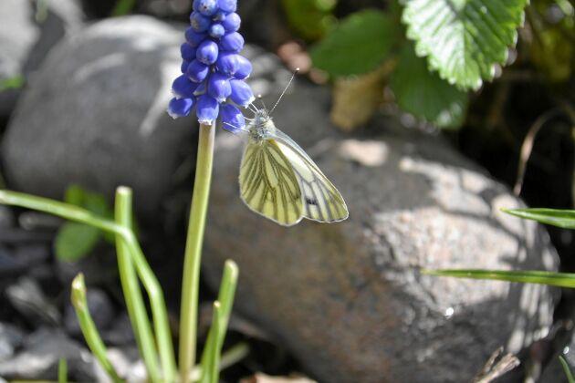 En nyvaken rapsfjäril dricker nektar ur en pärlhyacint. Dess värdväxter är korsblommiga växter som löktrav och ängsbräsma.