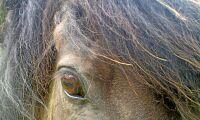 Häst levde när örat skars av