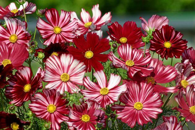 Strimmig rosenskära i rött och vitt.