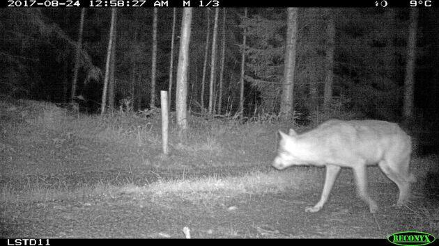 SVA ska avgöra om det skjutna djuret är en varghybrid eller en varg. Varghybriden på bilden har förevigats av en viltkamera.