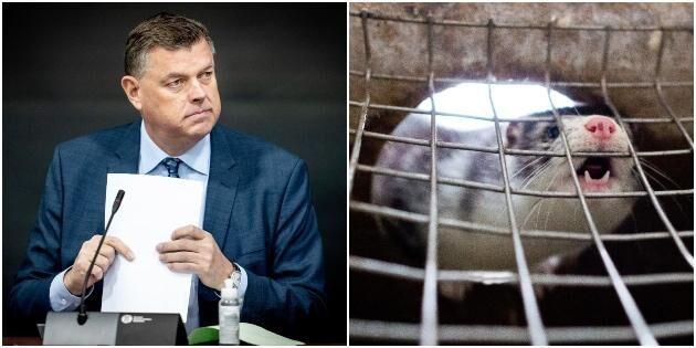 Minister avgår efter danskt minkkaos