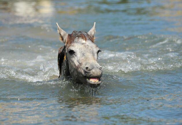 Arkivbild. En unghäst som badar. Stoet i poolen hade troligen hamnat där av misstag och inte för att hon valde att gå i.