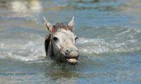 Oväntat besök av häst i poolen