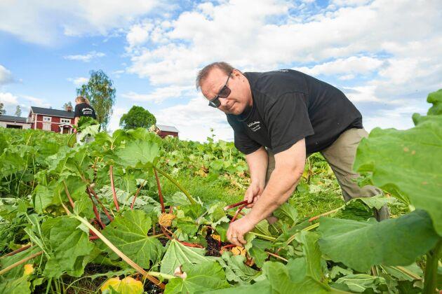 Tord Nilsson visar hur de lägger blad runt plantorna för gödsling och näring när de skördat