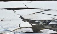 Kvigor dog sedan de gått genom isen