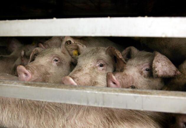 Bilden har inget med händelsen att göra. Arkivbild på grisar.