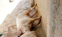 Förändrade gener ska skydda mot svinpest